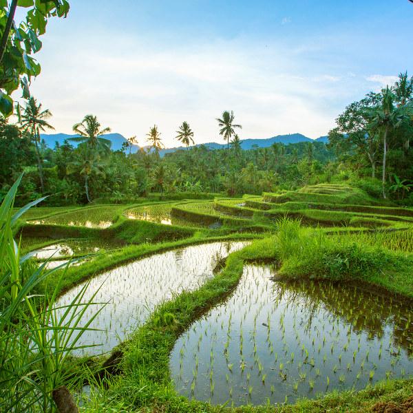 Les plus belles rizières de Bali